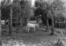 cowsPS-1a